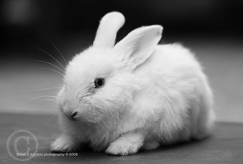 white rabbits 2