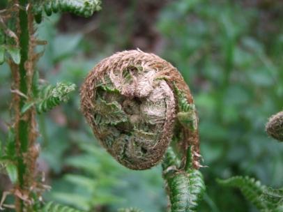 tightly curled fern